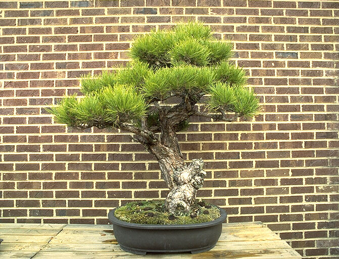 http://town.hall.org/places/bonsai/bonsai05.jpg